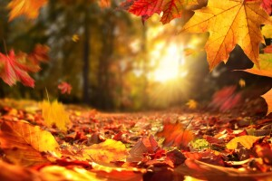 Lively closeup of falling autumn leaves with vibrant backlight from the setting sun